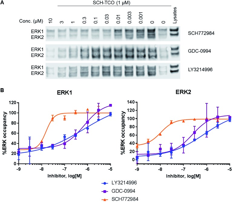 (A) Immunoblot analysis of <t>ERK1/2</t> from the pulled down fractions obtained after competition experiments between SCH-TCO and a range of concentrations of selected ERK1/2 inhibitors in HCT116 cells. (B) Graphs showing the target occupancies of LY3214996, GDC-0994 and SCH772984 determined in competition mode with SCH-TCO in HCT116 cells.