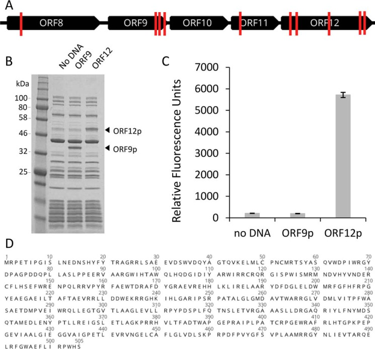 """Identification of the sialidase-encoding ORF on fosmid G7 and its in vitro expression. A , a map of fosmid G7 transposon insertion sites ( red lines ) in mutants with abolished sialidase activity. B , SDS–PAGE of ORF9 and ORF12 proteins expressed in vitro using the PURExpress system. C , sialidase activity produced in PURExpress reaction mixtures was assessed using the substrate 4MU-α-Neu5Ac as described under """"Experimental procedures."""" D , the deduced amino acid sequence of ORF12p. The nucleotide sequence and the deduced protein sequence for ORF12 are annotated in the fosmid G7 sequence record (GenBank TM accession number MH016668 )."""