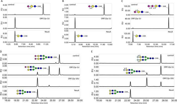 Specificity of ORF12p on sialic acid containing substrates using UPLC–HILIC–FLR analysis. A and B , the ability of ORF12p to cleave the fluorescently labeled substrates 3′- or 6′-sialyl- N -acetyllactosamine-2AB. Undigested substrates 3′- or 6′-sialyllactosamine-2AB run at ∼10.6- or 12.3-min retention times, respectively ( A and B , top panels ). Control digestion with the NeuA sialidase shifted both substrate peaks to ∼5.5-min retention time ( A and B , bottom panels ). Digestion of these substrates with 1 unit of ORF12p–His resulted in the same peak shift ( A and B , middle panels ). C , ORF12p's ability to hydrolyze α2–8 Neu5Ac was assessed using a 2AB-labeled GD3 ganglioside headgroup substrate that contains two sialic acid residues linked via an α2–8 bond. Undigested substrate ran at ∼16.5-min retention time with a very minor peak at ∼11-min retention time corresponding to partially degraded substrate comprised of a single α2–6 terminal sialic acid ( C , top panel ). NeuA-treated substrate shifted at ∼5.5 min retention time ( C , bottom panel ). Treatment with 1 unit of ORF12p did not shift the major substrate peak ( C , middle panel ). D and E , activity of ORF12p on biantennary complex N -glycans with terminal sialic acid residues (Neu5Ac, D ; or Neu5Gc, E ). Undigested substrates run at ∼26.6- and 27.9-min retention time, respectively ( D and E , top panels ). NeuA treatment shifted both substrate peaks at ∼23-min retention time ( D and E , bottom panels ). Incubation of the substrates with 1 or 10 units of ORF12p resulted in the same peak shift, but incomplete substrate desialylation was observed resulting in another smaller peak shift at ∼24.9- and 25.6-min retention time, respectively ( D and E , middle panels ). Symbolic representation of glycan structures was drawn following the guidelines of the Consortium for Functional Glycomics ( 50 ). EU , emission units.