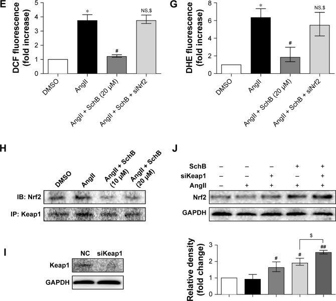 Antioxidant effects of SchB involved modulation of the <t>Keap1–Nrf2</t> pathway. Notes: ( A ) Western blot analysis of Nrf2 following siRNA transfection in RAECs. * P