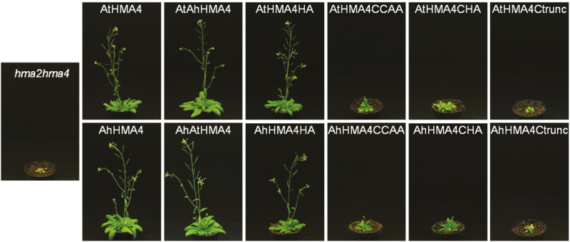 Complementation of the A. thaliana hma2hma4 zinc deficiency phenotype. HMA4 variants were expressed in hma2hma4 plants under the control of the AtHMA4 promoter. The plant phenotypes are shown after 6 weeks of growth on soil without zinc supplementation. Non-transformed hma2hma4 plants or expressing the native HMA4 proteins were respectively used as negative and positive controls. Images are representative of multiple observations of four to eight independent homozygous T3 lines for each genotype. Ah, A. halleri ; At, A. thaliana ; AtAhHMA4 and AhAtHMA4, swapped C-terminal extensions; HA: His- → Ala-stretch; CCAA: di-Cys → di-Ala motifs; CHA: HA and CCAA mutations combined; Ctrunc: fully truncated C-terminal extension.