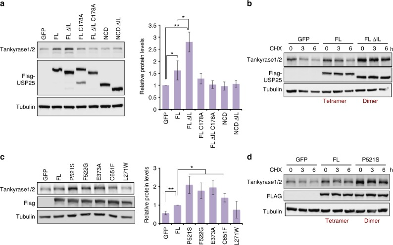 The USP25 dimer stabilizes endogenous tankyrase in HEK293T cells. a <t>Flag-USP25FL,</t> Flag-USP25FL ΔIL, Flag-USP25FL <t>C178A,</t> Flag-USP25FL ΔIL C178A, Flag-USP25NCD, and Flag-USP25NCD ΔIL were transfected in HEK293T cells and the levels of endogenous tankyrases1/2 were analyzed by western blot (WB). GFP was transfected as a control. Plot of the quantification of tankyrase1/2 levels, corrected with tubulin and relative to GFP. Data values are mean ± s.d. and n ≥ 3 technical replicates. Significance was measured by a two-tailed unpaired t test for all lanes relative to GFP and between USP25FL and USP25FL ΔIL. * P