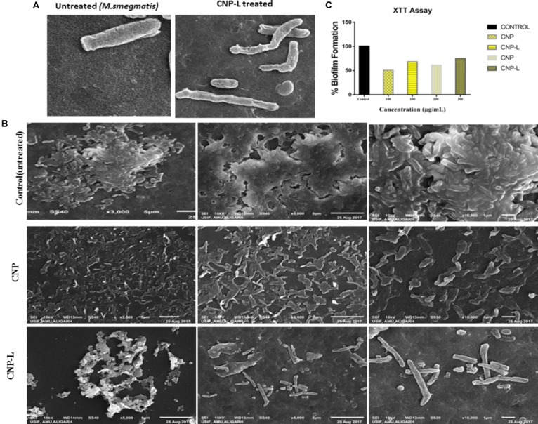 CNPs treatments disintegrate the M. <t>smegmatis</t> cell wall. (A) Scanning electron microscopic images showing disruption in cell wall morphology of single M. smegmatis (control) and after exposure to as-synthesized CNP-L (100 μg/ml) for 36 h. (B) (i) Control M. smegmatis <t>biofilm</t> (untreated), (ii) CNP treatment inhibits the biofilm formation, and (iii) CNP-L treatment at the same dose showed more biofilm inhibition after 36 h. (C) Biofilms were grown and treated with CNP and CNP-L followed by incubation with XTT for 1 h, absorbance at 495 nm was measured for biofilm inhibition. Increased killing of M. smegmatis was observed at 200 μg/ml dose of CNP-L. Note : scanning electron microscopy analysis was performed on a SU1510 scanning electron microscope (Hitachi, Tokyo, Japan).
