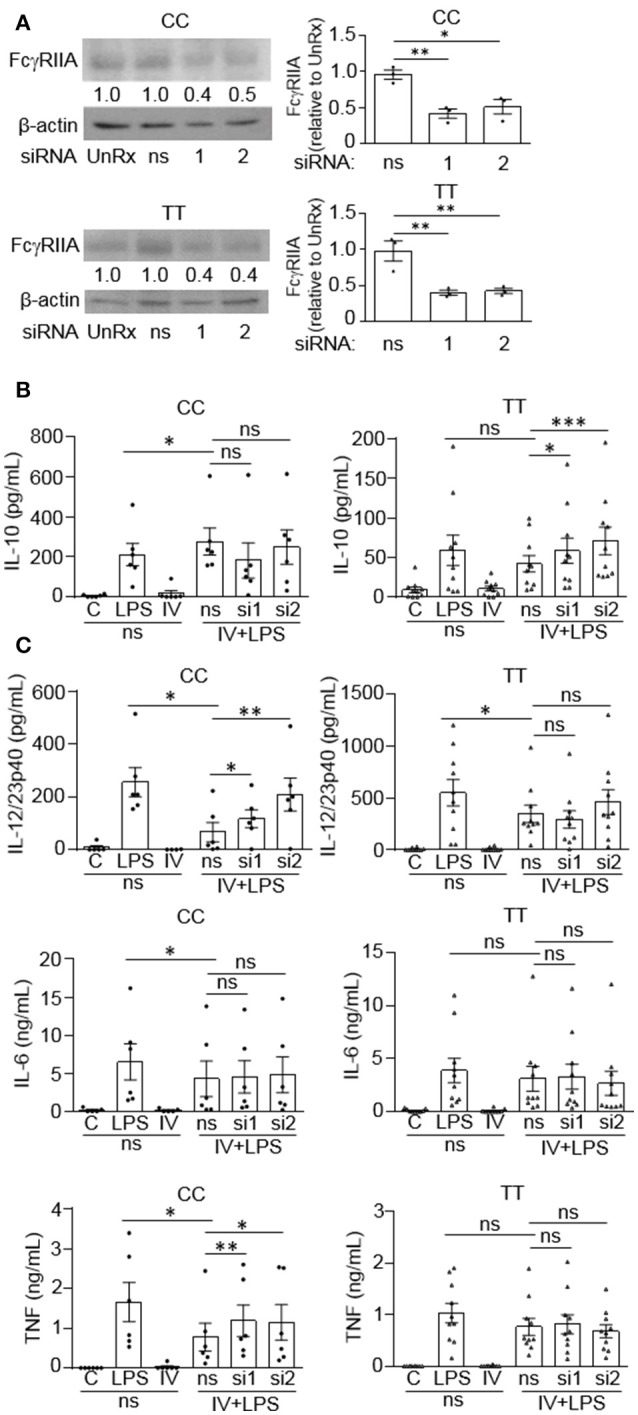 FcγRIIA prevents IVIg-induced IL-10 production in monocytes from people with the disease-associated gene variant. Monocytes from healthy control participants of the non-risk genotype (CC) and risk genotype (TT) were untreated (UnRx) or pre-treated for 48 h with a non-silencing siRNA (ns) or 2 different siRNAs to the FcγRIIA (si1 or si2). (A) Cell lysates (2.5 × 10 5 cells / treatment) were prepared, separated by SDS-PAGE, analyzed by western blotting with antibodies for FcγRIIA and β-actin, as a loading control. Results are representative of n = 6 experiments for the non-risk genotype (CC) and n = 10 experiments for the risk genotype (TT); Monocytes were derived from 1 participant for each independent experiment. Densitometry for FcγRIIA normalized to β-actin and relative to the control (UnRx) are averaged and shown below each band. (B,C) Monocytes pre-treated with the ns siRNA control were unstimulated [control (C)] or stimulated with LPS (100 ng/ml), IVIg (5 mg/ml), or both, for 24 h, and monocytes pre-treated with FcγRIIA si1 and si2 were stimulated with IVIg (5 mg/ml) + LPS (100 ng/ml). Clarified cell supernatants were assayed for (B) IL-10, (C) IL-12/23p40, IL-6, and TNF. Data are mean ± SEM and are representative of n = 6 experiments for the non-risk genotype (CC) and n = 10 experiments for the risk genotype (TT). Monocytes were derived from 1 participant for each independent experiment and assayed in duplicate. * p