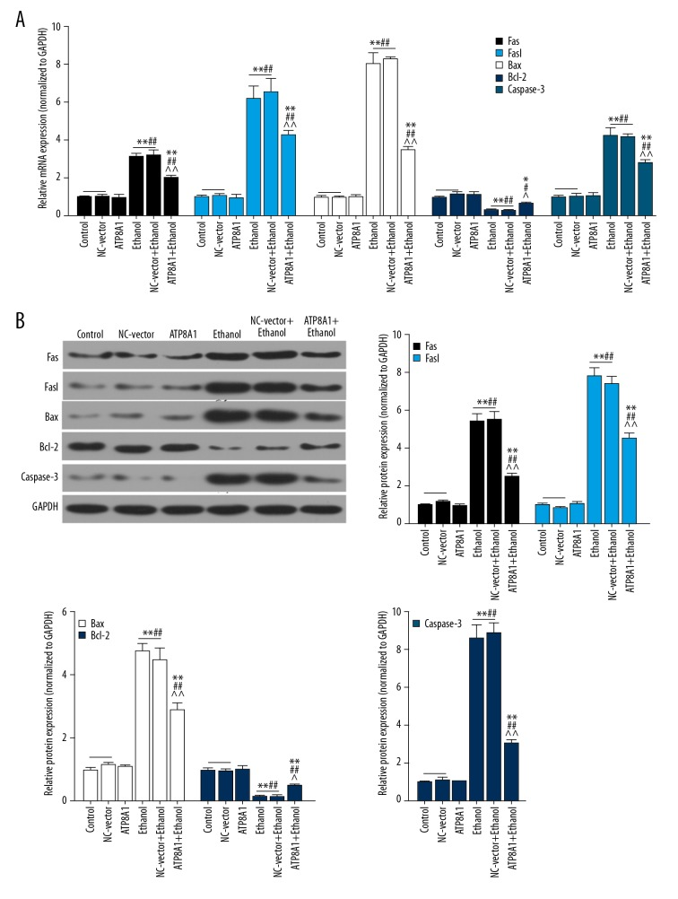 The protective effect of up-regulating ATP8A1 was related to apoptosis-related proteins. ( A ) The mRNA levels of Fas, Fasl, Bax, Bcl-2, and caspase-3 in each group were measured by <t>qRT-PCR.</t> ( B ) These apoptosis-related proteins expression levels were measured by Western blot. * P