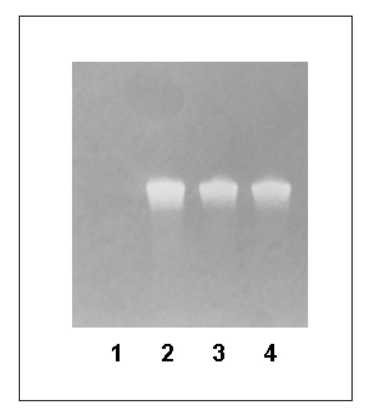 Detection of biotinylated DNA strand by modified Western blot.