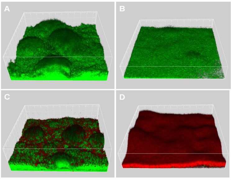 4-days-old biofilms of Gfp-tagged wild-type grown in FAB medium without (A) or with 25 µM EGCG (B). Biofilms were further treated with 50 µg/ml ciprofloxacin for 24 h (C: biofilm grown in FAB without EGCG; D: biofilm grown in FAB with 25 µM EGCG), after which they were stained with propidium iodide and images were acquired by CLSM. Live cells appear green and dead cells appear red.
