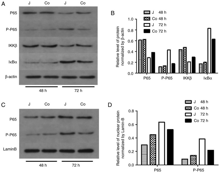 Analysis of signaling pathways. (A) Protein levels of NF-κB P65, p-P65, IKKβ and IκBα in the total cell fraction of control and co-cultured Jurkat cells and (B) densitometric analysis of the western blot data. (C) Expression of NF-κB P65 and p-P65 in the nuclear protein of Jurkat cells and (D) densitometric analysis of the western blot data. Levels of NF-κB p-P65 were decreased in the total cell and nuclear fractions of co-cultured Jurkat cells at 72 h. NF-κB, nuclear factor-κB; p-, phosphorylated; IκBα, inhibitor of NF-κBα; IKK, IκB kinase β; J, control; co, co-cultured.