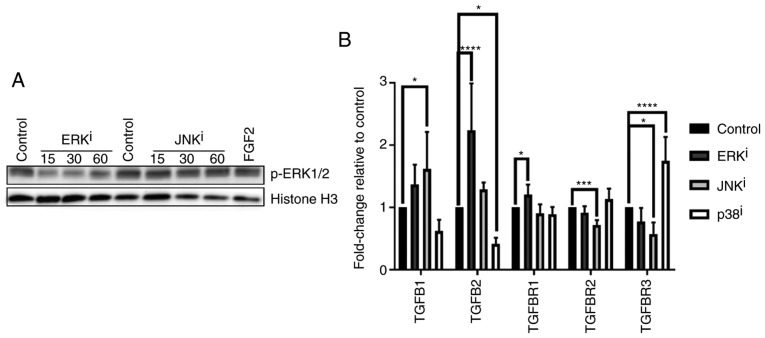 TGF-β-associated gene expression profiles induced by treatment with mitogen-activated protein kinase inhibitors. (A) CRL-2097 human dermal fibroblasts were cultured for 15-60 min in the presence or absence of 10 µ M U0126 (ERK i ) or 10 µ M SP600125 (JNK i ) and subjected to western blot analysis for p-ERK1/2. Histone H3 was used as a loading control. Fibroblasts incubated with recombinant human FGF2 for 30 min were used as a positive control for p-ERK1/2 expression. (B) CRL-2097 human dermal fibroblasts were cultured in the presence or absence of 10 µ M U0126 (ERK i ), 10 µ M SP600125 (JNK i ) or 10 µ M SB202190 (p38 i ) until day 4. Expression levels of TGF-β-associated transcripts TGFB1 , TGFB2 , TGFBR1 , TGFBR2 and TGFBR3 were determined relative to fibroblasts cultured under control conditions by reverse transcription-quantitative polymerase chain reaction. GAPDH expression was used as an internal control. Expression levels per transcript were compared using an one-way analysis of variance and post-hoc Holm-Sidak analysis. * P