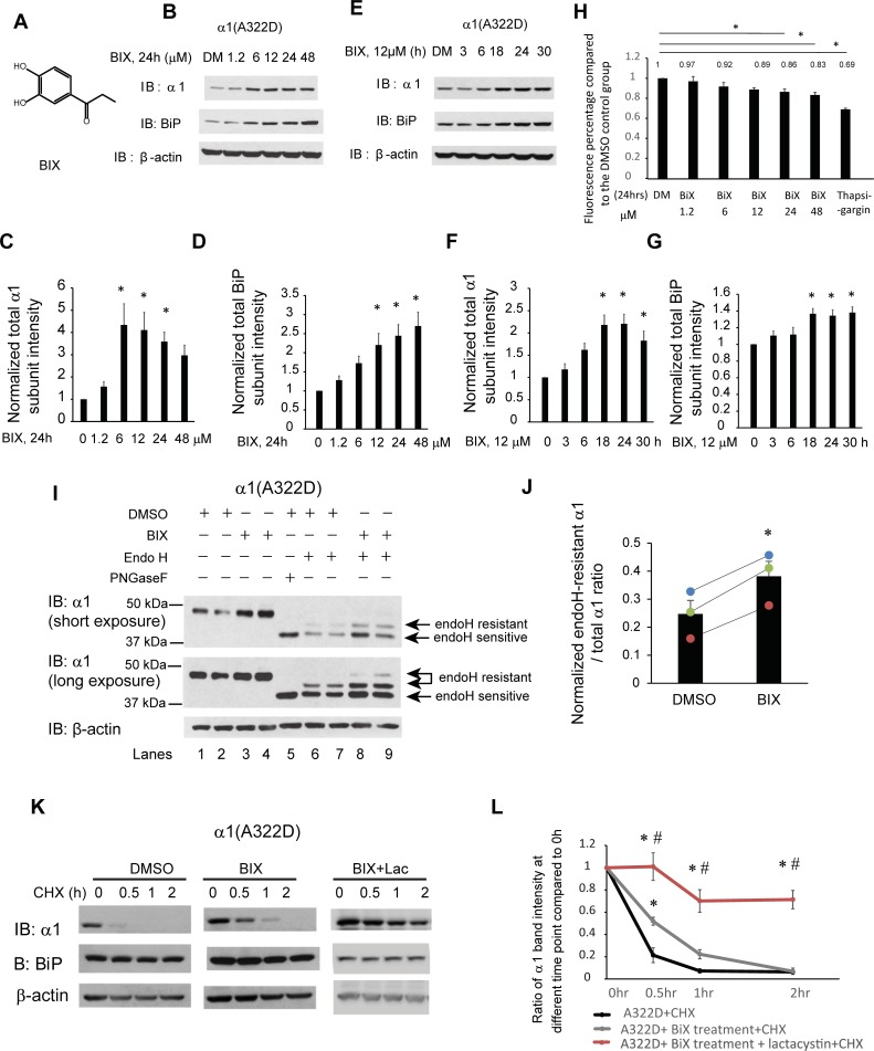 BIX, a potent BiP inducer, enhances the folding and trafficking and reduces the degradation of α1(A322D) subunits. ( A ) Chemical structure of BIX. ( B-D ) Dose response of BIX treatment in regulating α1(A322D) total protein level. HEK293T cells stably expressing α1(A322D)β2γ2 GABA A receptors were treated with BIX at the indicated concentrations or the vehicle control DMSO in the cell culture media for 24 h. Cells were then lysed and subjected to SDS-PAGE and Western blot analysis ( B ). Normalized band intensities for α1(A322D) subunits and BiP are shown in ( C ) and ( D ) (n = 8). ( E-G ) Time course of BIX treatment in regulating α1(A322D) total protein level. HEK293T cells stably expressing α1(A322D)β2γ2 GABA A receptors were treated with BIX (12 μM) for the indicated time. Cells were then lysed and subjected to SDS-PAGE and Western blot analysis ( E ). Normalized band intensities for α1(A322D) subunits and BiP are shown in ( F ) and ( G ) (n = 5). ( H ) HEK293T cells stably expressing α1(A322D)β2γ2 GABA A receptors were plated into a 96-well plate on day 1. Cells were then treated with BIX at the indicated concentrations or the vehicle control DMSO in the cell culture media for 24 h. One groups of HEK293T cells stably expressing α1(A322D)β2γ2 GABA A receptors are treated with thapsigargin (2 μM, 7h) as cell toxicity positive control. Resazurin (0.15mg/ml dissolved in DPBS) is added to cells 1.5 h before plate reading. Fluorescence signal at 560 nm excitation / 590 nm emission is measured. The ratios of fluorescence signal in the DMSO treatment group to treatment groups is shown in ( H ) (n = 4, one-way ANOVA). ( I ) HEK293T cells expressing α1(A322D)β2γ2 receptors were treated with BIX (12 μM, 24 h) or DMSO vehicle control. Then cells were lysed, and total proteins were extracted. Total cellular proteins were incubated with or without endoglycosidase H enzyme (endo H) or peptide-N-glycosidase F (PNGase F) for 1h at 37°C and then subjected to SDS-PAGE and Western blot analysis. Endo H resistant α1 subunit bands (top arrows, lanes 6–9) represent properly folded, post-ER α1 subunit glycoforms that traffic at least to the Golgi compartment, whereas endo H sensitive α1 subunit bands (bottom arrow, lanes 6–9) represent immature α1 subunit glycoforms that are retained in the ER. The PNGase F enzyme cleaves between the innermost N-acetyl-D-glucosamine and asparagine residues from N-linked glycoproteins, serving as a control for unglycosylated α1 subunits (lane 5). The ratio of endo H resistant α1 / total α1, which was calculated from endo H-resistant band intensity / (endo H-resistant + endo H-sensitive band intensity), serves as a measure of trafficking efficiency of the α1(A322D) subunit. Quantification of this ratio after endo H treatment (lanes 6–9) is shown in ( J ) (n = 3, paired t-test). ( K ) HEK293T cells stably expressing α1(A322D)β2γ2 receptors were either treated with DMSO vehicle control, or BIX (12 μM, 24 h) or BIX (12 μM, 24 h) and lactacystin (2.5μM, 24h). Cycloheximide (150 μg/ml), a protein synthesis inhibitor, was added to different cell groups for 0, 0.5 hr, 1 hr, and 2 hrs. Cells were then lysed and subjected to SDS-PAGE and western blot analysis. The quantitation results are shown in ( L ) (n = 5, one-way ANOVA followed by Fisher test, *, p