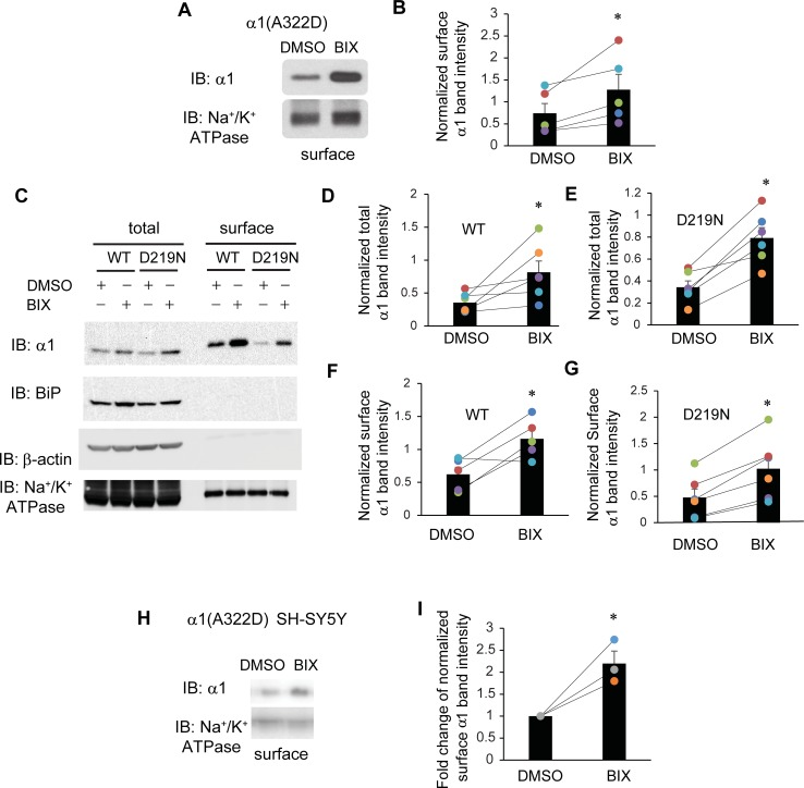 BIX enhances the surface expression of α1 subunit variants of GABA A receptors. ( A ) HEK293T cells expressing α1(A322D)β2γ2 receptors were treated with BIX (12 μM, 24 h) or DMSO vehicle control. Then the cell surface proteins were tagged with biotin using membrane-impermeable biotinylation reagent sulfo-NHS SS-Biotin. Biotinylated surface proteins were affinity-purified using neutravidin-conjugated beads and then subjected to SDS-PAGE and Western blot analysis. The Na + /K + -ATPase serves as a surface protein loading control. Quantification of normalized surface α1(A322D) protein levels to the Na + /K + -ATPase controls is shown in ( B ) (n = 5, paired t-test). ( C ) HEK293T cells expressing α1β2γ2 receptors or α1(D219N)β2γ2 receptors were treated as in ( A ). Quantification of normalized total and surface WT α1 protein levels is shown in ( D F ) (n = 6 for total and n = 5 for surface, paired t-test). Quantification of normalized total and surface α1(D219N) protein levels is shown in ( E G ) (n = 6 for total and surface, paired t-test). ( H ) SH-SY5Y cells stably expressing α1(A322D)β2γ2 receptors were treated with BIX (12 μM, 24 h) or DMSO vehicle control. Then surface biotinylation assay was performed as in ( A ). Quantification of normalized surface α1(A322D) protein levels is shown in ( I ) (n = 3, two tailed student t-test). * p
