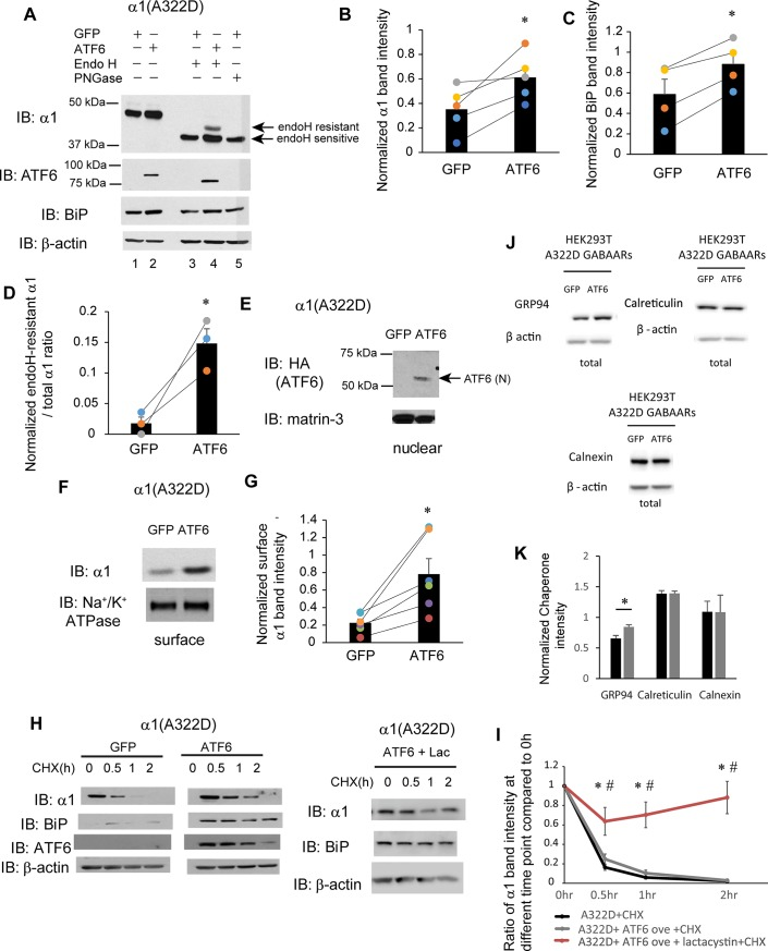 ATF6 activation promotes the forward trafficking of α1(A322D) subunit of GABA A receptors. (A) HEK293T cells expressing α1(A322D)β2γ2 receptors were transiently transfected with GFP or HA-tagged full-length ATF6α plasmids. Forty-eight hrs post transfection, cells were lysed, and total proteins were extracted. Total cellular proteins were incubated with or without endoglycosidase H enzyme (endo H) or peptide-N-glycosidase F (PNGase F) for 1h at 37°C and then subjected to SDS-PAGE and Western blot analysis using corresponding antibodies. Endo H resistant v1 subunit bands (top arrow, lane 4) represent properly folded, post-ER α1 subunit glycoforms that traffic at least to the Golgi compartment, whereas endo H sensitive α1 subunit bands (bottom arrow, lanes 3 and 4) represent immature α1 subunit glycoforms that are retained in the ER. The PNGase F enzyme cleaves between the innermost N-acetyl-D-glucosamine and asparagine residues from N-linked glycoproteins, serving as a control for unglycosylated α1 subunits (lane 5). Quantification of total cellular protein expression levels of α1 and BiP is shown in ( B ) and ( C ) (n = 5 for α1 and n = 4 for BiP, paired t-test). Quantification of the ratio of endo H resistant α1 / total α1 is shown in ( D ) (n = 3, paired t-test). ( E ) Cells were treated as in ( A ). Forty-eight hrs post transfection, the nuclear fractions were extracted and subject to SDS-PAGE. ATF6 (N) is the cleaved, activated N-terminal ATF6 in the nucleus. Matrin-3 serves as a nuclear protein loading control. ( F ) HEK293T cells were treated as in ( A ). Forty-eight hrs post transfection, the cell surface proteins were tagged with biotin using membrane-impermeable biotinylation reagent sulfo-NHS SS-Biotin. Biotinylated surface proteins were affinity-purified using neutravidin-conjugated beads and then subjected to SDS-PAGE and Western blot analysis. The Na + /K + -ATPase serves as a surface protein loading control. Quantification of normalized surface α1(A322D) protein levels is shown in ( G ) (n = 6, paired t-test). ( H ) HEK293T cells expressing α1(A322D)β2γ2 receptors were either transfected with GFP control, or ATF6, or transfected with ATF6 and treated with lactacystin (2.5μM for 24h). Cycloheximide (150 μg/ml), a protein synthesis inhibitor, was added to different cell groups for 0, 0.5 hr, 1 hr, and 2 hrs. Cells were then lysed and subjected to SDS-PAGE and western blot analysis. The quantitation results are shown in ( I ) (n = 5, one-way ANOVA followed by Fisher test, *, p