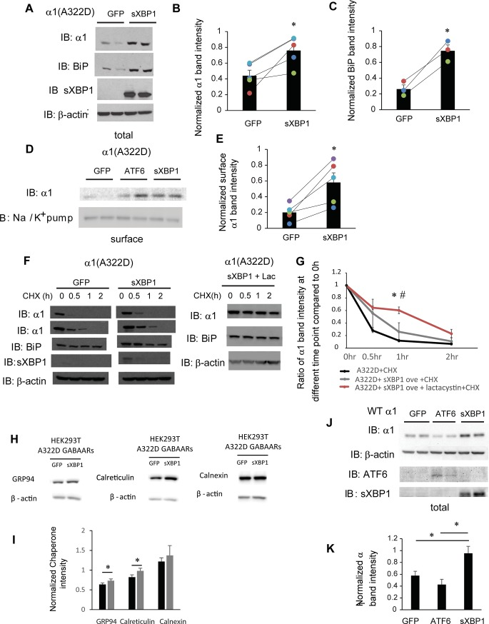 IRE1 activation increases the surface expression of α1(A322D) subunit of GABA A receptors. ( A ) HEK293T cells expressing α1(A322D)β2γ2 receptors were transiently transfected with GFP or XBP1-s (spliced XBP1) plasmids. Forty-eight hrs post transfection, cells were lysed, and total proteins were extracted. The cell lysates are then subjected to SDS-PAGE and Western blot analysis using corresponding antibodies. Quantification of total cellular protein expression levels of α1 and BiP is shown in ( B C ) (n = 5 for α1 and n = 3 for BiP, paired t-test). ( D ) HEK293T cells were treated as in ( A ). Forty-eight hrs post transfection, the cell surface proteins were tagged with biotin using membrane-impermeable biotinylation reagent sulfo-NHS SS-Biotin. Biotinylated surface proteins were affinity-purified using neutravidin-conjugated beads and then subjected to SDS-PAGE and Western blot analysis. The Na + /K + -ATPase serves as a surface protein loading control. Quantification of normalized surface protein expression levels of α1 is shown in ( E ) (n = 5, paired t-test). ( F ) HEK293T cells expressing α1(A322D)β2γ2 receptors were either transfected with GFP control, or XBP-s or transfected with XBP-s and treated with lactacystin (2.5 μM for 24h). Cycloheximide (150 μg/ml), a protein synthesis inhibitor, was added to different cell groups for 0, 0.5 hr, 1 hr, and 2 hrs. Cells were then lysed and subjected to SDS-PAGE and western blot analysis. The quantitation results are shown in ( G ) (n = 3, one-way ANOVA followed by Fisher test, *, p