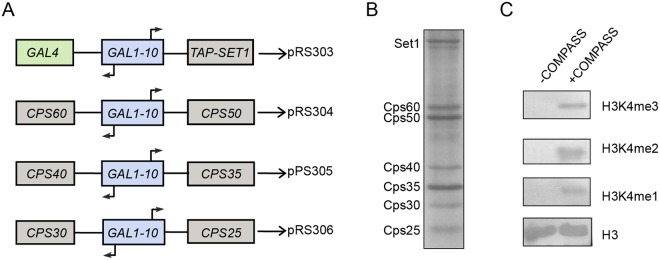 Overexpression and purification of the COMPASS complex from budding yeast S . cerevisiae . (A) COMPASS overexpression scheme. Full length SET1 and the Cps subunits of COMPASS ( CPS60 , CPS50 , CPS40 , CPS35 , CPS30 , and CPS25 ) together with GAL4 and GAL1-10 were cloned into pRS30-series vectors. A TAP tag was fused to the N-terminus of Set1. (B) SDS-PAGE analysis of the purified COMPASS complex. Purified Set1 consistently runs on SDS/PAGE as a doublet, the reasons behind this property of Set1 or its biological significance remain unclear 7 . (C) In vitro H3K4 mono-, di-, and tri-methylation activities of COMPASS complex, examined by western blotting using H3K4me1, me2, and me3 antibody and anti-H3 antibody.