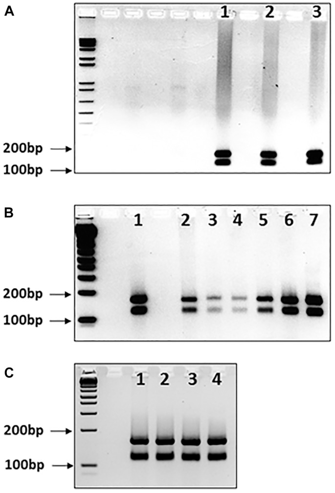 Mbo II digests of GAA repeat expansions from human FRDA somatic tissues and mouse FRDA intergenerational and somatic tissues. Agarose gels showing Mbo II digests of GAA PCR products of (A) FRDA patient cerebellum tissue samples, (B) YG8sR mouse ear biopsy samples and human FRDA blood samples, and (C) four tissues from one YG8sR mouse. In each case, the expected 170 and 120bp undigested GAA-flanking fragments can be identified in between the 200 and 100bp fragments of the 1 Kb+ DNA ladder marker, which is loaded into the first lane of each gel. (A) Lanes 1–3 show the results from cerebellum tissue samples from three FRDA patients. (B) Lanes 1 and 2 are from FRDA patient blood samples; lanes 3–6 are from ear biopsy samples from 4 GAA repeat expansion-based YG8sR mice of four different generations, and lane 7 is from an ear biopsy sample from the Y47R mouse which has nine GAA repeats. (C) Lanes 1–4 are from brain, cerebellum, heart, and liver tissues of the YG8sR mouse, respectively.