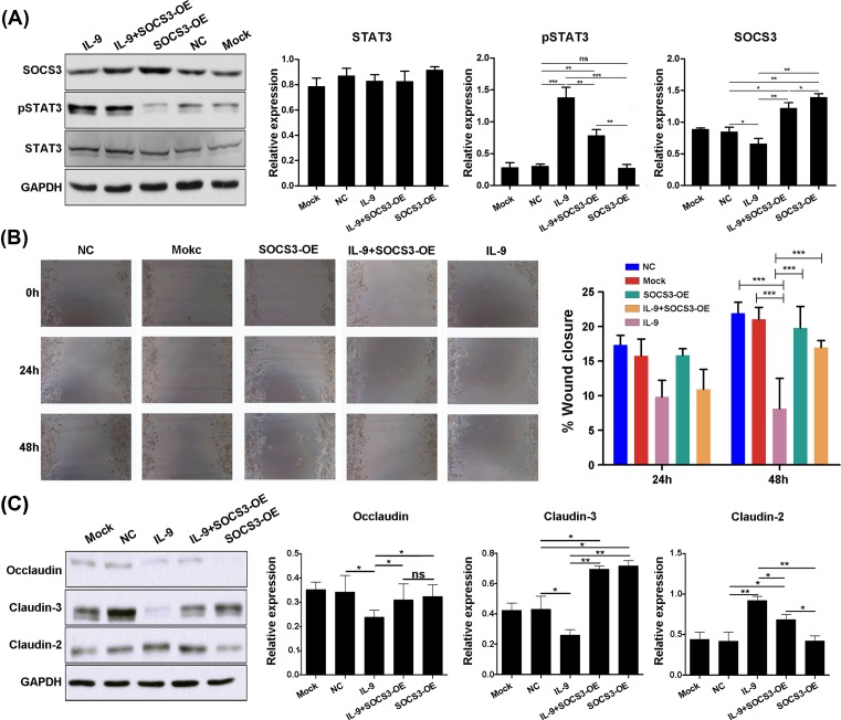 Overexpression of SOCS3 inhibits IL-9/STAT3-mediated colonic mucosal injury and effect to intestinal barrier related gene expression ( A ) SW480 cells were pretreated with SOCS3 overexpression lentivirus (OE), with or without IL-9 stimulation 24 h later. Expression of occludin, claudin-3, and claudin-2 were extracted for analysis by Western blot (Left). SOCS3, STAT3, and pSTAT3 expression were quantitated (Right). GAPDH was used as a control. Each experiment was performed for three times, and data are shown as mean ± S.E.M. (* P