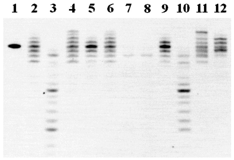 Successive incorporation of 2′,4′-bridged nucleotides using analogue 3 with various DNA polymerases; KOD Dash (lane 2), wild type KOD (lane 3), KOD 1 (lane 4), KOD 2 (lane 5), KOD 3 (lane 6), KOD 4 (lane 7), KOD 5 (lane 8), KOD 6 (lane 9), KOD 7 (lane 10), KOD 8 (lane 11), and Vent(exo-) (lane 12). Primer extension reactions were performed for 1 h at 74°C under enzyme concentration of 0.4 U/μL. Primer P2 only migrated in lane 1.