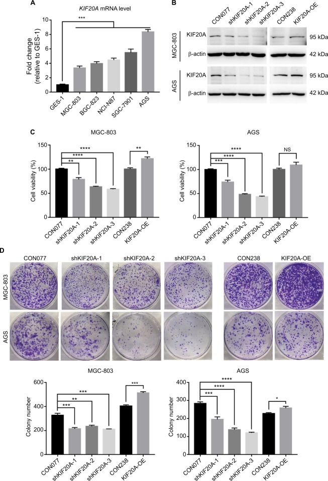 Knockdown or overexpression KIF20A influences GC cell proliferation. Notes: ( A ) Expression levels of KIF20A determined by qRT-PCR in immortalized human gastric mucosal epithelial cell line GES-1 and five GC cell lines (MGC-803, BGC-823, NCI-N87, SGC-7901, and AGS). ( B ) Expression levels of KIF20A in MGC-803 and AGS cell lines were examined by Western blot after <t>lentivirus</t> infection. ( C ) Cell viability assays for cells transfected with KIF20A knockdown and overexpression. ( D ) Colony formation assays for cells transfected with KIF20A knockdown and overexpression plasmids. Values are mean±SEM. *, **, ***, or **** corresponded to P