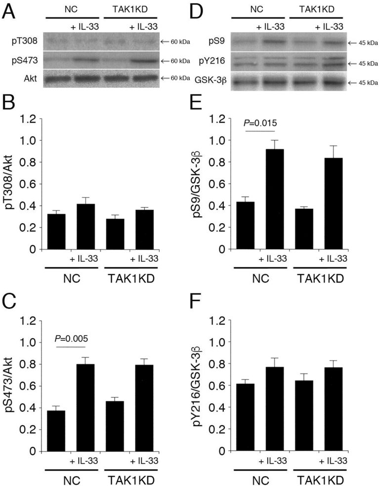 TAK1 is not implicated in IL-33-induced Akt activation and GSK-3β inactivation. PC-12 cells, transfected with the NC siRNA or the TAK1 siRNA, were treated with IL-33 (1 ng/mL) for 30 min, followed by Western blotting using antibodies against Akt, pT308-Akt, pS473-Akt, GSK-3β, pS9-GSK-3β, and pY216-GSK-3β. ( A ) ( D ) Western blot images. The arrow shown in ( D ) indicates the signal band at 46 kDa for pY216-GSK-3β. ( B ) ( C ) In the graphs, each column represents the mean (±SEM) signal intensity for pT308-Akt and pS473-Akt relative to the signal intensity for Akt (n = 8 Western blot results from independent experiments). ( E ) ( F ) In the graphs, each column represents the mean (±SEM) signal intensity for pS9-GSK-3β and pY216-GSK-3β relative to the signal intensity for GSK-3β (n = 8 Western blot results from independent experiments. P values shown in the graphs, ANOVA followed by a Bonferroni correction.