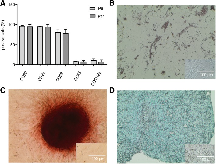 Characterization of adipose derived stem cells (ADSC). a ADSC were analyzed for cell surface markers in passage 6 (P6) and passage 11 (P11). Over 90% of cells were positive for CD90 and <t>CD29</t> and negative for CD45 and CD11b/c in both passages. Paired t-test between P6 and P11 showed no differences in expression of surface markers. ADSC in passage 4 were differentiated into adipocytes ( b ), osteocytes ( c ), and chondrocytes ( d ). Lipid vacuoles were visualized with oil red O staining ( b ), calcium deposits were stained with Alizarin Red S ( c ), and proteoglycans of chondrogenic pellets were detected by Alcian blue staining ( d ). Inserts represent ADSC, cultured in proliferation medium as negative controls