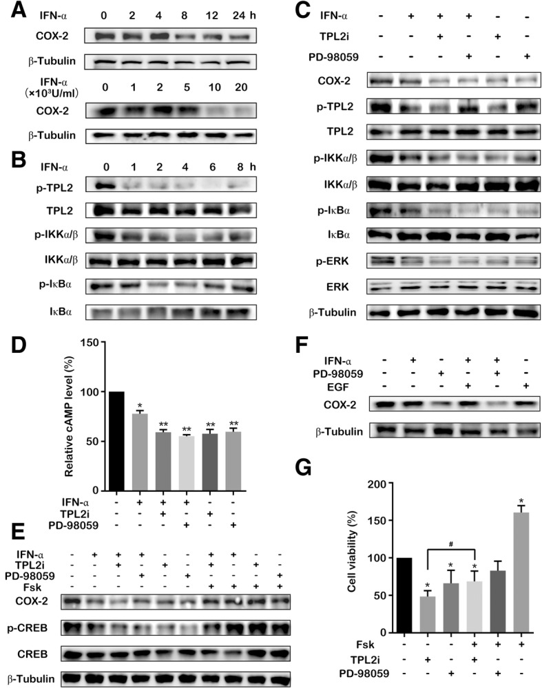 Suppression of COX-2 expression by IFN-α via inhibition of the TPL2 and cAMP/CREB. ( a ) T24 cells were treated with IFN-α (1 × 10 4 U/mL) for specific time points; or treated using various concentrations of IFN-α for 24 h. The cell lysates were immunoblotted with COX-2 antibody. β-Tubulin staining is shown as a loading control. ( b ) T24 cells were treated with IFN-α (1 × 10 4 U/mL) for specific time points. The TPL2, p-TPL2, IKKα/β, p- IKKα/β, IκBα and p-IκBα were analyzed by performing western blotting. ( c ) T24 cells were treated with IFN-α (1 × 10 4 U/ml), TPL2i (2 μM), and PD98059 (40 μM) for 12 h. The COX-2, TPL2, p-TPL2, ERK, p- ERK, IKKα/β, p-IKKα/β, IκBα and p-IκBα were analyzed by performing western blotting. β-Tubulin staining is shown as a loading control. ( d ) The intracellular cAMP level was detected after T24 cells were treated with IFN-α (1 × 10 4 U/mL), TPL2i (2 μM), and PD98059 (40 μM) for 4 h. ( e ) T24 cells were treated with IFN-α (1 × 10 4 U/mL), TPL2i (2 μM), PD98059 (40 μM), or forskolin (50 μM) for 24 h. The expression levels of COX-2, CREB, and p-CREB were analyzed by western blotting. The β-tubulin was used as the loading control. ( f ) T24 cells were treated with IFN-α (1 × 10 4 U/mL), PD98059 (40 μM), and EGF (25 ng/mL) for 12 h. The COX-2 expression was analyzed by performing western blotting. ( g ) Cell viability was detected after T24 cells were treated using forskolin (50 μM), TPL2i (2 μM), and PD98059 (40 μM) for 72 h. Data represent the results of three independent experiments. Error bars indicate mean ± SD. *, P