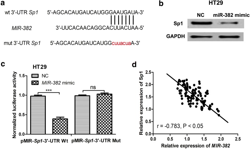 MIR - 382 directly target SP1 in CRC. a The predicted MIR - 382 binding site within Sp2 3′-UTR and its mutated version. b MIR - 382 mimic inhibited the expression of SP1 in HT29 cells. c MIR - 382 mimic inhibited luciferase activity of cells transfected with pMIR-SP1-3′-UTR Wt but not pMIR-SP1-3′-UTR Mut. d Correlation between MIR - 382 and SP1 expression in CRC tissues. (***P