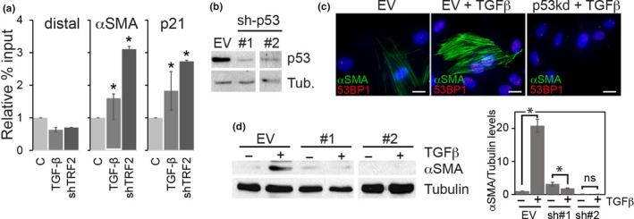 Telomere dysfunction causes myofibroblast transdifferentiation in a p53‐dependent manner. (a) ChIP‐qPCR analysis of p53 binding to a control distal promoter element (distal), to the αSMA promoter element (αSMA), or the p21 promoter element (p21) of normal BJ fibroblasts that were either control treated (C), treated with TGF‐β1 (10 ng/ml) for 48 hr, or transduced with shRNA targeting TRF2. Error bars: ± SD . * p