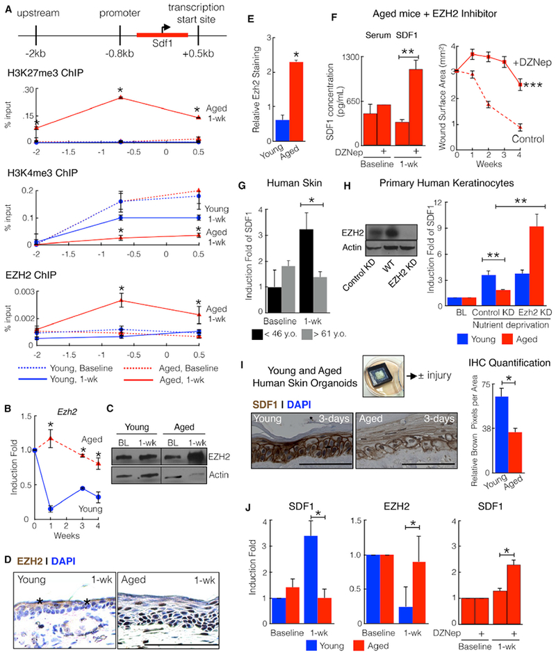 Mouse and Human Skin Exhibit Age-Dependent EZH2-Mediated SDF1 Induction (A) Age-dependent epigenetic regulation of SDF1. Shown are H3K27me3, H3K4me3, and EZH2 chromatin immune precipitation of ear wound edge tissue at baseline and 1 week post-injury at 3 different locations on the SDF1 gene. n = 6. *p