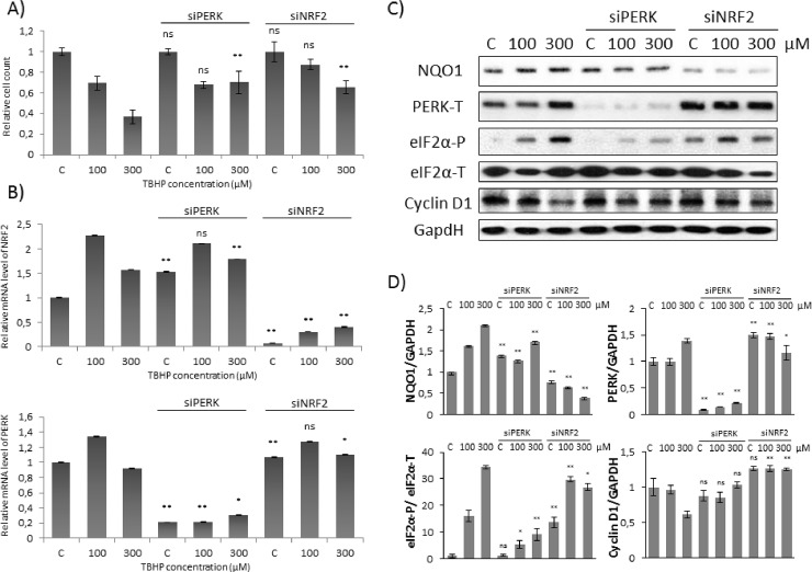 Cyclin D1 degradation is not observed at early stage of low level of oxidative stress. Concentration dependency of oxidative stress treatment was followed with/without a background of PERK or NRF2 silencing. HEK293T cells were cultured with 100 or 300 μM TBHP for 1.5 hours, while NRF2 or PERK gene expression was depleted by NRF2 or PERK siRNA. ( A) The relative amount of viable HEK293T cells. (B) The efficiency of NRF2 (upper panel) and PERK (lower panel) silencing was checked on mRNA level. The mRNA level was followed by real-time PCR. GAPDH was used as a housekeeping gene. The intensity of NRF2 is normalised for GAPDH. (C) During oxidative stress the markers of NRF2 (NQO1), PERK (PERK-T, eiF2α -P) and Cyclin D1 were followed by immunoblotting. GAPDH was used as a loading control. (D) Densitometry data represent the intensity of NQO1, PERK-T and Cyclin D1 normalised for GAPDH and eiF2α-P normalized for total level of eiF2α. For each of the experiments, three independent measurements were carried out. Error bars represent standard deviation; asterisks indicate statistically significant difference from the control: * p
