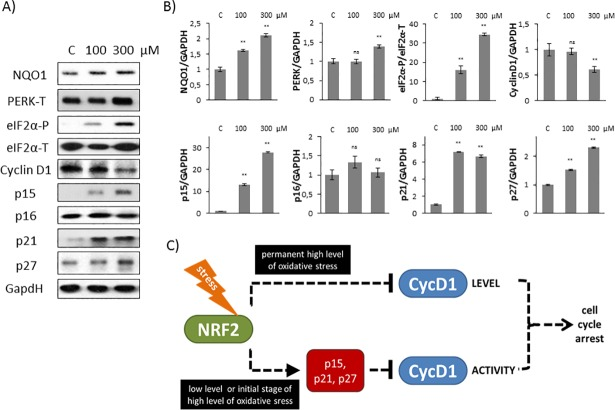 Short treatment with high level of oxidative stress induces Cyclin D1 inhibitors. (A) HEK293T cells were treated with 100 or 300 μM TBHP for 1.5 hour and the markers of NRF2 (NQO1), PERK (PERK-T, eiF2α -P), Cyclin D1 and its inhibitors (p15, p16, p21, p27) were followed by immunoblotting. GAPDH was used as a loading control. (B) Densitometry data represent the intensity of NQO1, PERK-T, Cyclin D1, p15, p16, p21 and p27 normalised for GAPDH and eiF2α-P normalized for total level of eiF2α. For each of the experiments, three independent measurements were carried out. Error bars represent standard deviation; asterisks indicate statistically significant difference from the control: * p