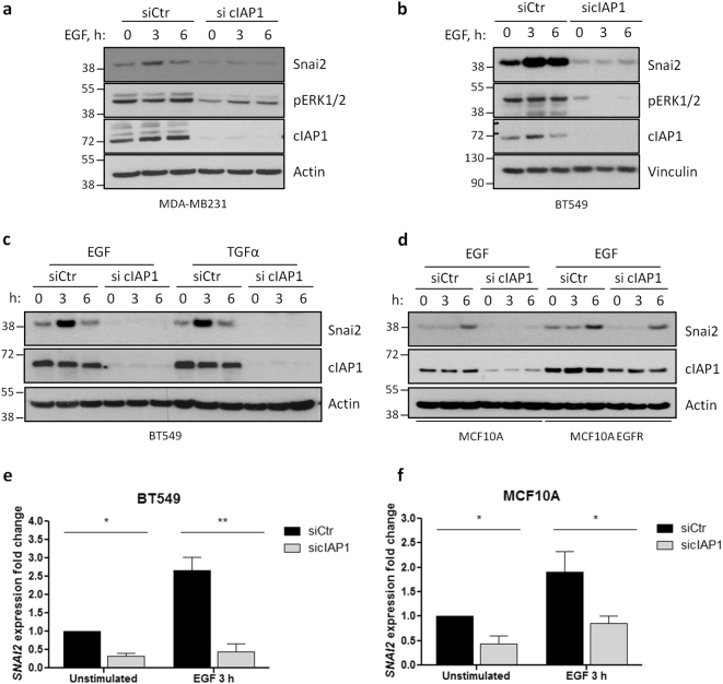 Depletion of cIAP1 hinders EGFR-dependent expression of Snai2. a MDA-MB231 and b BT549 cells were transfected with control or cIAP1-specific siRNAs and, after 48 h, serum-starved overnight. Then, cells were stimulated for the indicated time points with 50 ng/ml and 20 ng/ml EGF, respectively. Levels of Snai2 and activated ERK1/2 were detected, together with cIAP1, to check the transfection efficiency. c BT549 and d MCF10A—wild-type or bearing mutated EGFR—cells were transfected as in Fig. 4a and stimulated with the indicated EGFR ligands (20 ng/ml) to evaluate the expression of Snai2 by western blot. e BT549 and f MCF10A cells were transfected and serum-starved as described before, stimulated 3 h with 20 ng/ml EGF and lysed to extract RNA. Real-time PCR was performed to evaluate Snai2 fold expression relative to GAPDH. BT549: * P = 0.0151, ** P = 0.0036; n = 3; MCF10A: unstimulated siCtr vs. sicIAP1 * P = 0.0290, EGF 3 h siCtr vs. sicIAP1 * P = 0.0330; n = 5; two-tailed paired t- test