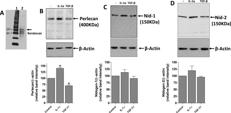 Regulation of EBM component protein expression by IL-1α and TGF-β1 in primary rabbit keratocytes. Primary keratocan+ keratocytes were cultured and treated with 10 ng/mL IL-1α, 2 ng/mL TGF-β1, or left untreated for 16 hours. Keratocytes to be used in the experiments were lysed and keratocan of the expected size (50 kDa 45 ) was detected (A) to confirm these cells were keratocan+ keratocytes at the beginning of the exposure. (B) Perlecan, (C) nidogen-1, and (D) nidogen-2 expression detected by Western blot. Cell extracts used for perlecan Western blots were treated with heparitinase III, as was described in the methods. β-actin was used as a loading control for each experiment. A representative Western blot of the three performed for each BM component is shown. The graphs beneath each Western blot was obtained by densitometry analysis of the bands from each of the three Western blots from different experiments. *The change in BM protein was statistically significant (P