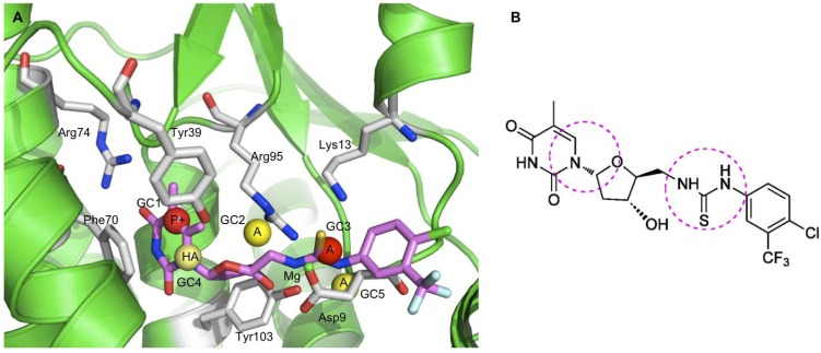 """( A ) Representation of the RI-4D-QSAR postulated """"bioactive"""" conformation of the most potent inhibitor ( ATT14 ) of the training set docked at the TMPKmt active site. Only the main interacting residues in the pocket of the binding site are shown in stick model representations (carbon atoms in gray). The inhibitor ATT14 is presented as stick models (carbon atoms in magenta). The GCODs of the best 4D-QSAR model are also shown in the active site of the crystal structure of TMPKmt, represented as spheres of 1 Å radius. Inhibition-enhancing and inhibition diminishing GCODs are shown, respectively, as yellow and red spheres. The IPEs atom types are as follows: A = any; NP = nonpolar; HA = hydrogen bond acceptor. ( B ) Chemical structure of ATT14 , showing the main regions that contain pharmacophore sites, such as the sugar-pyrimidine ring structure and the 5′-arylthiourea moiety, which further can be explored to identify better inhibitors of TMPKmt."""