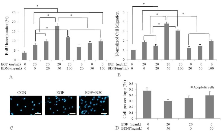 Effect of <t>BDNF</t> on <t>EGF-induced</t> human NSPC proliferation and migration. Quantitative analysis of human NSPCs proliferation ( A ) and migration ( B ) were determined by BrdU incorporation and Transwell assay following 2 hours treatment of different concentrations of BDNF stimulation with 20 ng/mL EGF or not. (B) Data were expressed as mean ratio compared with the control group; ( C ) Cells incubated with EGF or EGF and BDNF. Nuclei were counter-stained with DAPI; ( D ) Analysis of apoptosis by Flow-cytometry. There was no appreciable change in these groups CON: control (incubated with medium without EGF or BDNF). * p