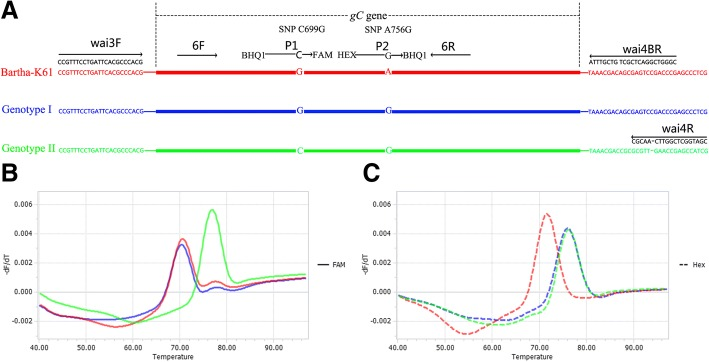 Schematic illustration of the duplex FMCA method. ( a ) Relative binding positions of primers and probes along the gC gene of PRV. Melting peak calculation by derivative plotting -dF/dT versus temperature in the FAM channel ( b ) and the HEX channel ( c ). Red, blue, and green lines represent Bartha-K61 vaccine, European/American (Genotype I), and Chinese (Genotype II) strains, respectively