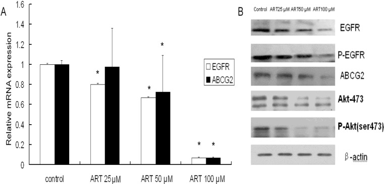 ART down-regulates the EGFR and ABCG2 mRNA and protein levels in A549 cells. ( A ) Cells were treated with varying concentrations of ART for 48 h and then harvested. The EGFR and ABCG2 mRNA levels were detected using real-time RT-PCR; ( B ) The expression of EGFR, p-EGFR Akt, p-Akt and ABCG2 was measured by western blot analysis. A549 cells were treated with varying concentrations of ART for 48 h, then β-actin expression was used as an internal control to determine the expression levels of proteins. Significant down-regulation of all proteins was observed. The blots are representative of three independent experiments. The data represent the means ± SE from three independent experiments performed in triplicate. * p