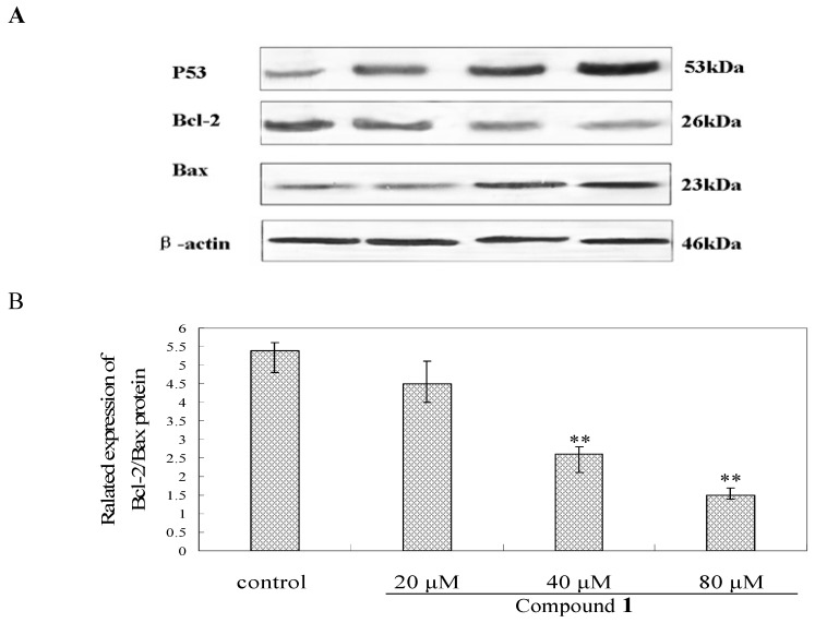 Bel-7402 cells were incubated with compound 1 at the concentrations of 20, 40 and 80 μM for 48 h, respectively, then, the different proteins levels were measured by westblot method. ( A ) Effects of compound 1 on the expression levels of P53, Bcl-2 and Bax proteins; ( B ) The ratio of Bcl-2/Bax protein expression. ** p