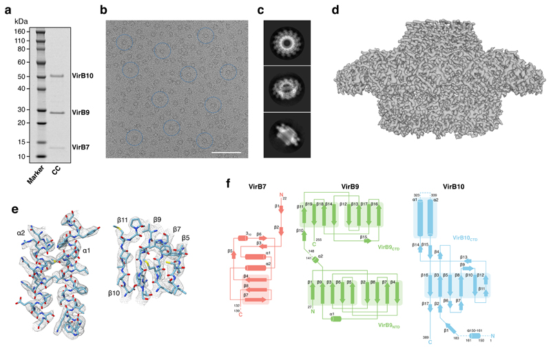 """Biochemistry and electron microscopy map and model of the X. citri T4S system core complex. a , SDS-PAGE of the VirB7-VirB9-VirB10 core complex. Left lane labeled """"Marker"""": molecular weight markers, with the molecular weight for each band shown at left. Right lane labeled """"CC"""": purified core complex, with the three components labeled at right. Purification assays were repeated more than ten times with similar results (see also Supplementary Figure 9a ). b , Electron micrograph of the X. citri core complex, with some particles highlighted in blue circles. Scale bar: 50 nm. Experiments were repeated at least 8 times showing similar results. c , Representative of top, tilt, and side view 2D class averages obtained using RELION 2.0 (see the Methods section for more information). d , Overview of the 3.3-Å electron density, contoured at 4 σ level. e , Two representative regions of the electron density of the X. citri core complex. Electron density map contoured at a 4 σ level is shown in chicken wire representation, color-coded in grey-blue. The final model built into the map is shown in a ribbon and stick representation color-coded dark blue, red, yellow, and light blue for nitrogen, oxygen, sulfur and carbon atoms, respectively. Secondary structures are labeled. The regions depicted are both from the VirB10 CTD (left panel for α-helices and right panel for β-strands). f , Topology secondary structure diagrams of VirB7 (red), VirB9 (green), and VirB10 (blue). β-strands and α-helices are represented as arrows and cylinders, respectively. Regions for which no electron density was observed are indicated by dashed lines. Note that the 182 N-terminal residues of VirB10 were disordered and could not be traced except for a small helix corresponding to residues 150-161. This is not unexpected considering that the 101 amino acid stretch (residues 84-184) between the inner membrane spanning helix and the globular VirB10 CTD is rich in proline residues ( Supplementary Fig. 2 )."""