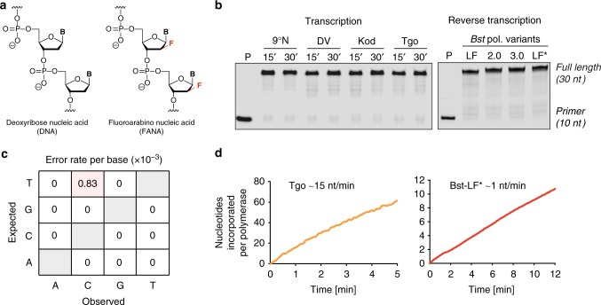 FANA transcription and reverse transcription in vitro. a Constitutional structures for 2'-deoxyribonucleic acid (DNA) and 2'-fluoroarabino nucleic acid (FANA). b FANA transcription activity for wild-type archaeal DNA polymerases (exo−) from 9°N, DV, Kod, and Tgo (left panel). Samples were analyzed after 15 and 30 min at 55 °C. FANA reverse transcriptase activity of Bst DNA polymerase LF, 2.0, 3.0, and LF* (right panel). LF* denotes wild-type Bst DNA polymerase, large fragment, expressed and purified from E. coli . Samples were analyzed after 30 min at 50 °C. All samples were resolved on denaturing PAGE and visualized using a LI-COR Odyssey CLx. c Fidelity profile observed for FANA replication using Tgo and Bst LF* polymerases. The mutation profile reveals a mutation rate of 8 × 10 -4 and an overall fidelity of ~99.9%. d Catalytic rates observed for FANA synthesis with Tgo (left panel) and reverse transcription with Bst LF* (right panel)