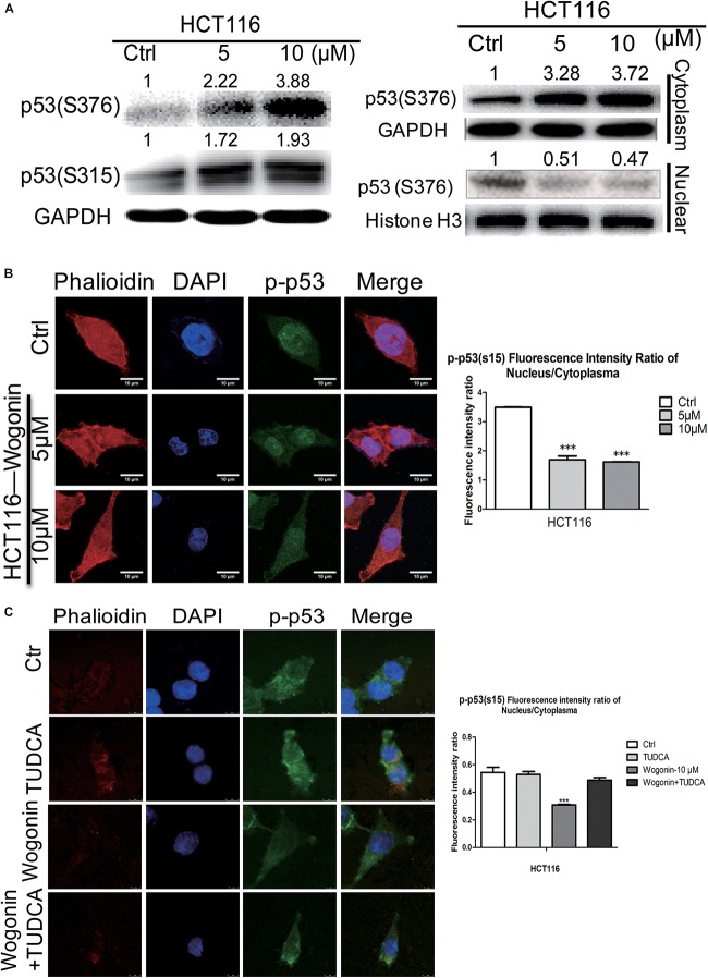 Wogonin modulated nuclear translocation of p-p53 through increased ER stress. (A) Total protein, cytoplasm protein and nuclear protein expressions of p53(ser315) andp53 (ser376) were examined by western blot after wogonin treated for 72 h in HCT-116 cells. Histone H3 or GAPDH was used as an internal control. (B) The distribution of p53(ser15) were visualized by immunofluorescence using p53(ser15) antibody (Green), nuclei were counterstained with DAPI (Blue) and cytomembrane were counterstained with phalloidine (Red). p53(ser15) fluorescence intensity ratio of cytoplasm/nucleus was expressed in histogram. (C) Immunofluorescence assay was conducted to evaluate the ratio of phosphorylation at serine 15 of p53 in nucleus/cytoplasm. HCT116 cells were treated with wogonin (10 μM), TUDCA (500 μM), and wogonin combined with TUDCA for 48 h in HCT-116 cells. Values represent mean ± SD, significant difference versus control group, ∗∗∗ P