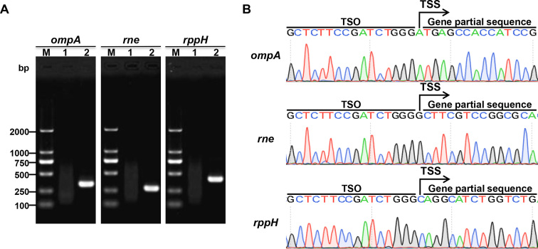 5′ RACE mapping of B. melitensis 16M protein-coding genes. ( A ) Nest-PCR products of 5′ RACE starting from B. melitensis 16M total RNA. ompA , outer membrane protein A (337 bp); rne , an endoribonuclease (286 bp); <t>rppH</t> , RNA <t>pyrophosphohydrolase</t> (400 bp). Lane M, DL2000 DNA Marker (Takara); lane 1, first-round PCR products; lane 2, second-round PCR products. ( B ) The sequencing result of the second-round PCR products.