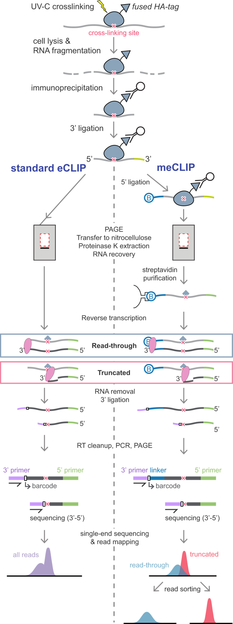 Detailed comparison of the eCLIP and meCLIP protocols. Presentation of the different steps involved in eCLIP and meCLIP procedures. Following UV crosslinking, RNase treatment, and RBP purification, an RNA adaptor (green) is ligated at the 3′ end. For meCLIP, a biotinylated RNA linker (blue) is incorporated at the 5′ end. RNAs are fractionated by electrophoresis and eluted from gels. For meCLIP, biotinylated RNAs are purified on Streptavidin beads using stringent conditions. Reverse transcription (RT) is then performed, which leads to two distinct cDNA populations. One of them bears the 5′ linker if the reverse transcriptase reads through the crosslinked peptide (read-through cDNAs). The other one lacks the 5′ linker due to a stop of RT at the crosslinked peptide. A second adaptor (purple) is ligated at the <t>3′</t> end of the cDNAs which are next amplified by PCR and submitted to high-throughput sequencing. For meCLIP, two populations of reads are easily sorted out based on the presence or absence of the biotinylated linker sequence.