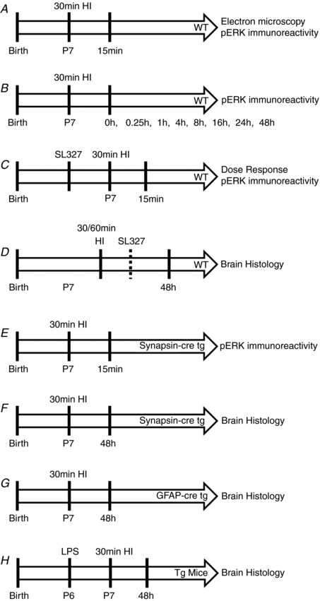 Schedule of experimental procedures A , WT (C57/Bl6) mice underwent 30 min hypoxic–ischaemic (HI) insult and were then killed at 15 min post‐hypoxia for pERK immunoreactivity evaluation. B , pERK immunoreactivity was assessed at multiple time points up to 48 h post‐insult to P7 WT mice. C , a dose response of SL327, controlled to vehicle alone, was administered 20 min prior to 30 min HI and pERK immunoreactivity was assessed at 15 min post‐insult. D , WT mice were subject to either 30 min or 60 min HI, with 133 μg/g SL327 or EtOH (vehicle) administered either 20 min prior to or 60 min post‐insult. Brain histology was assessed at 48 h. E , inhibition of neuronal pERK immunoreactivity was confirmed at 15 min post‐HI in synapsin‐cre driven ERK tg mutant mice compared to littermate WT controls. F , brain histology was assessed at 48 h after 30 min HI in synapsin‐cre driven ERK tg mutant mice and littermate WT controls. G , brain histology was assessed at 48 h after 30 min HI in GFAP‐cre driven ERK tg mutant mice and littermate WT controls. H , saline or LPS was injected at 12 h prior to 30 min HI in both synapsin‐cre and GFAP‐cre driven ERK tg mutant mice and littermate WT controls. Brain histology was assessed at 48 h.