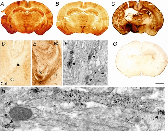Histological and electron microscopy assesment of pERK expression in P7 mouse forebrain following 30 min HI A and B , distribution of normal pERK immunoreactivity in the forebrain of sham animal ( A ) and an animal with unilateral carotid occlusion ( B ). C and G , increased pERK immunoreactivity in untreated animals at 15 min following 30 min HI ( C ). Response was ablated with the application of MEK inhibitor <t>SL327</t> (133 μg/g BW) ( G ). D and E , schematic summary of white matter pERK‐IR in naive ( D ) and after a 30 min HI insult ( E ). Light microscopy overview at the intersection between hippocampus (top), thalamus (left) and cerebral cortex (right), coronal section at mid‐parietal level ( D and E ). Note the faint pERK‐IR in control animal with carotid occlusion only ( D , Ctrl), and the strong increase of expression in fibre tracts in external capsule (ec), fornix (fx), cortico‐thalamic fibres (ct), and descending tracts of the internal capsule (ic) at 1 h recovery following HI ( E ). F and H , electron microscopy of the internal capsule, at 15 min recovery following HI. Early pERK reactivity is located to the axons only. Arrows point to pERK positive clusters within adjacent axons. Scale bar ( A–C, G ): 1.5 mm [Color figure can be viewed at http://wileyonlinelibrary.com ]