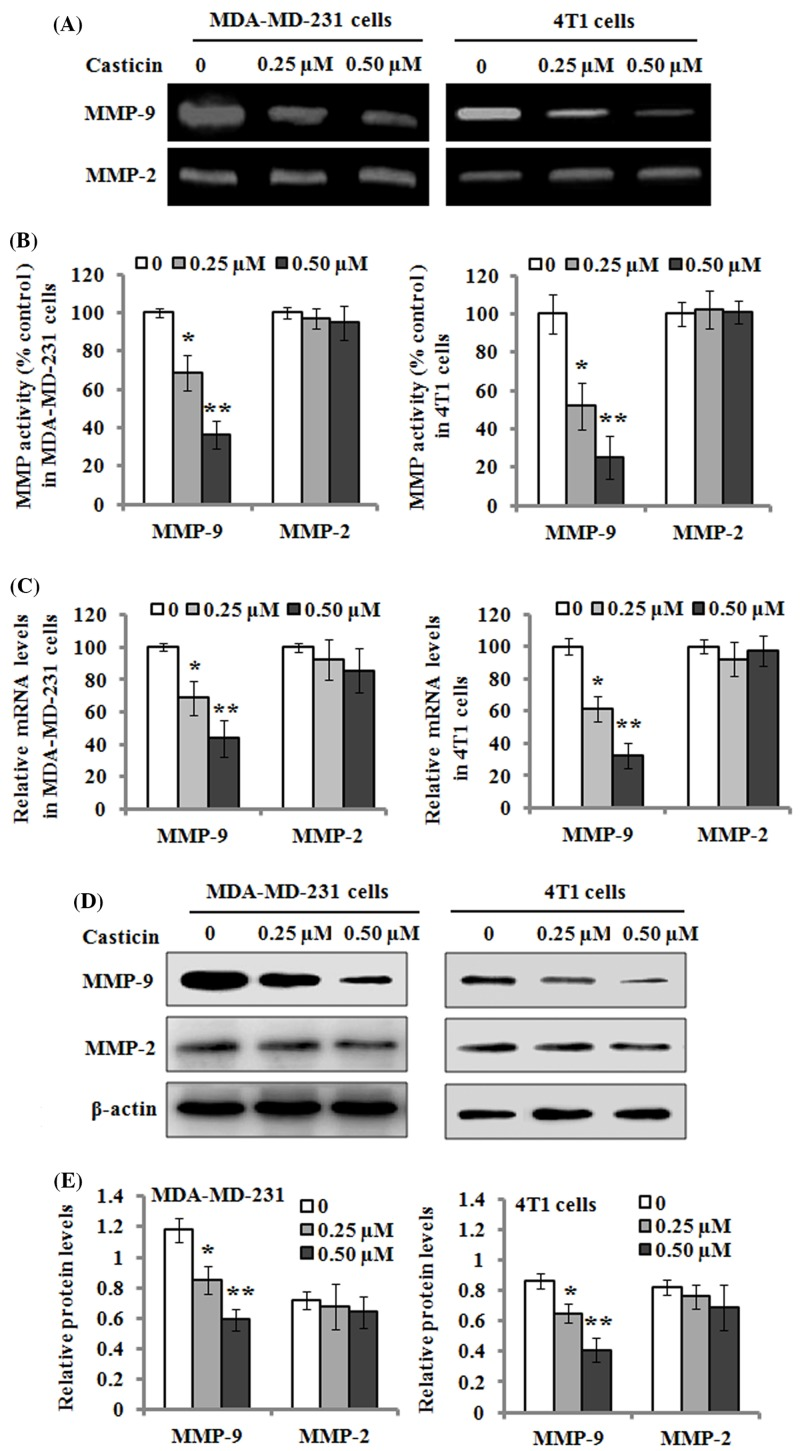Effects of casticin on the activity and expression of MMP-2/9 ( A ) MDA-MB-231 and 4T1 cells were respectively treated with 0, 0.25, and 0.50 µM of casticin for 24 h, and the culture medium was then subjected to gelatin zymography to analyze the activity of MMP-2/9. ( B ) The activity of MMP-2/9 was separately quantitated as described in the 'Materials and methods' section, and normalized to that of the control. ( C ) The mRNA levels of MMP-2/9 were determined with real-time quantitative RT-PCR after the cells were incubated with 0, 0.25, and 0.50 µM of casticin for 24 h. ( D ) Western blot analysis of the protein levels of MMP-2/9 in the cells treated with 0, 0.25, and 0.50 µM of casticin for 24 h. β-actin served as an internal control for the protein level. ( E ) The relative protein levels of MMP-2/9 were quantitated against the densitometric signal of the β-actin bands. Data are expressed as the mean ± S.D. of three independent experiments. * P