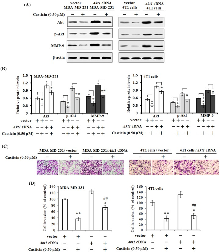 Effects of mutant Akt expression vector on casticin-mediated cell invasion and its related proteins MDA-MB-231 and 4T1 cells were respectively transfected with Akt1 cDNA or empty vector, and then treated with or without 0.50 µM of casticin for 24 h. ( A , B ) The protein expression levels of Akt, p-Akt, and MMP-9 were analyzed by Western blotting and quantitated against the densitometric signal of β-actin bands. * P