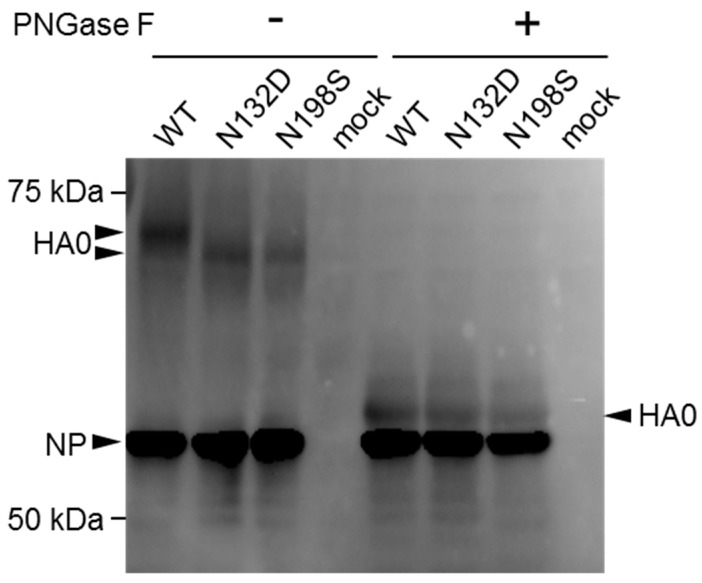 Deglycosylation of HA caused by mutation. MDCK cells were infected with viruses bearing a wild-type or mutant HA (N132D or N198S) and incubated at 37 °C for 12 h. Proteins were extracted from infected or mock-infected cells and treated with or without PNGase F. The samples were run on an 8% sodium dodecyl sulphate (SDS)-polyacrylamide gel and transferred to a polyvinylidene fluoride (PVDF) membrane for Western blotting analysis using anti-H9N2 virus mouse polyclonal antibody as the primary antibody. HA0 and NP are indicated by arrowheads.