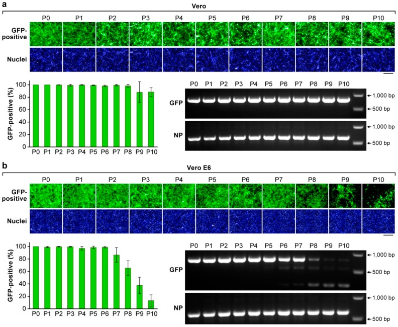 Stability of the GFP reporter gene expressed by rLASV-GFP. Cells were exposed to rLASV-GFP (MOI = 0.01). At 72 h PI, TCS were collected (passage 1, P1), and virus titers were determined by plaque assay. Fresh Vero ( a ) or Vero-E6 cells ( b ) were exposed to with TCS from P1 (MOI = 0.01). This process was serially repeated throughout P10. GFP expression (green) was measured by high-content imaging. Nuclei were stained with DAPI (blue). Viral RNA was extracted from TCS of P1 to P10 to amplify DNA fragments containing an GFP-P2A and a part of the NP ORF using RT-PCR. Images are representative field images of individual wells. Bar, 200 µm.