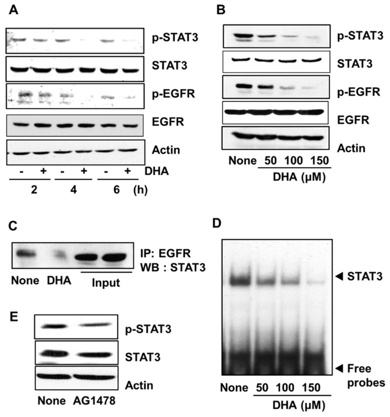 """Effect of DHA on the levels of phospho (p)-STAT3, STAT3, p-EGFR, and EGFR, the interaction of EGFR and STAT3, STAT3 DNA-binding activity, and the effect of AG1478 on p-STAT3 and STAT3 levels in PANC-1 cells. Cells were treated with 150 µM DHA for various time periods ( A ) and with 50, 100, and 150 µM DHA for 4 h ( B – D ). The cells were treated with 10 μM tyrophostin AG1478 for 4 h ( E ). ( A ) Plot of the protein levels of p-STAT3, STAT3, p-EGFR, and EGFR (and the protein standard actin) in the cells treated with 150 µM DHA for 2, 4, and 6 h. """"-"""" means without DHA treatment and """"+"""" represents with DHA treatment. ( B ) Plot of the protein levels of p-STAT3, STAT3, p-EGFR, and EGFR (and the protein standard actin) in the cells treated for 4 h with the concentrations of DHA indicated. Column """"None"""" corresponds to the extract from untreated cells, column """"50"""", """"100"""", and """"150"""" to the extracts from cells treated with 50, 100, and 150 µM DHA, respectively. ( C ) Western blot (WB) of PANC-1 cells treated with 150 µM DHA for 4 h. The total cell lysates were immunoprecipitated (IP) with EGFR antibody and then immunoblotted (by Western blotting, WB) using STAT3 antibody. ( D ) DNA-binding activity of STAT3 in PANC-1 cells treated for 4 h with the indicated concentrations of DHA. The description of the columns is the same as in ( B ). ( E ) Plot of the protein levels of p-STAT3 and STAT3 (and the protein standard actin) in the cells treated with 10 µM AG1478 for 4 h. The column labeled """"None"""" corresponds to the extracts from untreated cells and the column labeled """"AG1478"""" corresponds to the extracts from cells treated with 10 µM AG1478. EGFR = epidermal growth factor receptor (EGFR); STAT3 = signal transducer and activator of transcription factor 3."""