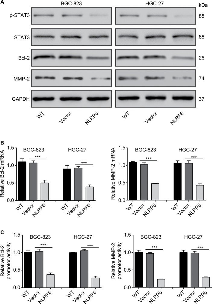Effects of NLRP6 on STAT3 signaling. Notes: ( A ) Immunoblot of phosphorylated STAT3, STAT3, Bcl-2, and MMP-2. Blots are representative of three separate experiments. ( B ) mRNA levels of Bcl-2 and MMP-2 were assessed by qRT-PCR. ( C ) BGC-823 and HGC-27 cells were transfected with a Bcl-2 or an MMP-2 luciferase reporter plasmid. The cells were then cultured for 48 hours before determination of normalized luciferase activity. WT, wild-type cells; vector, cells stably expressed control vector; NLR6, cells stably expressed NLRP6. *** P